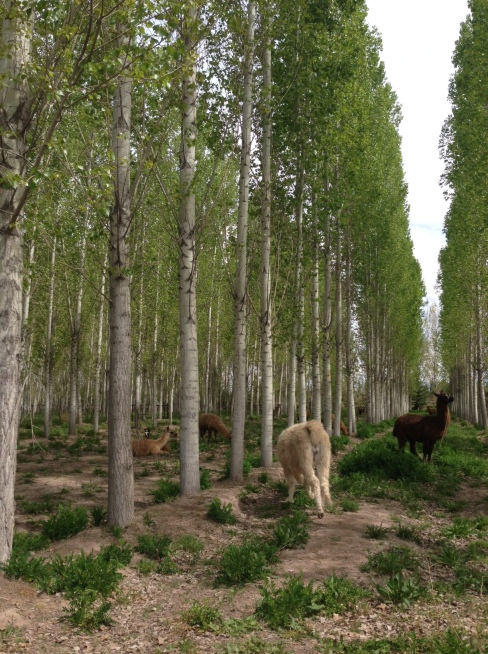 the llamas hang out among these gorgeous trees